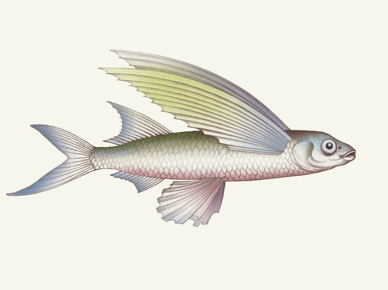 Flying-Fish.jpg