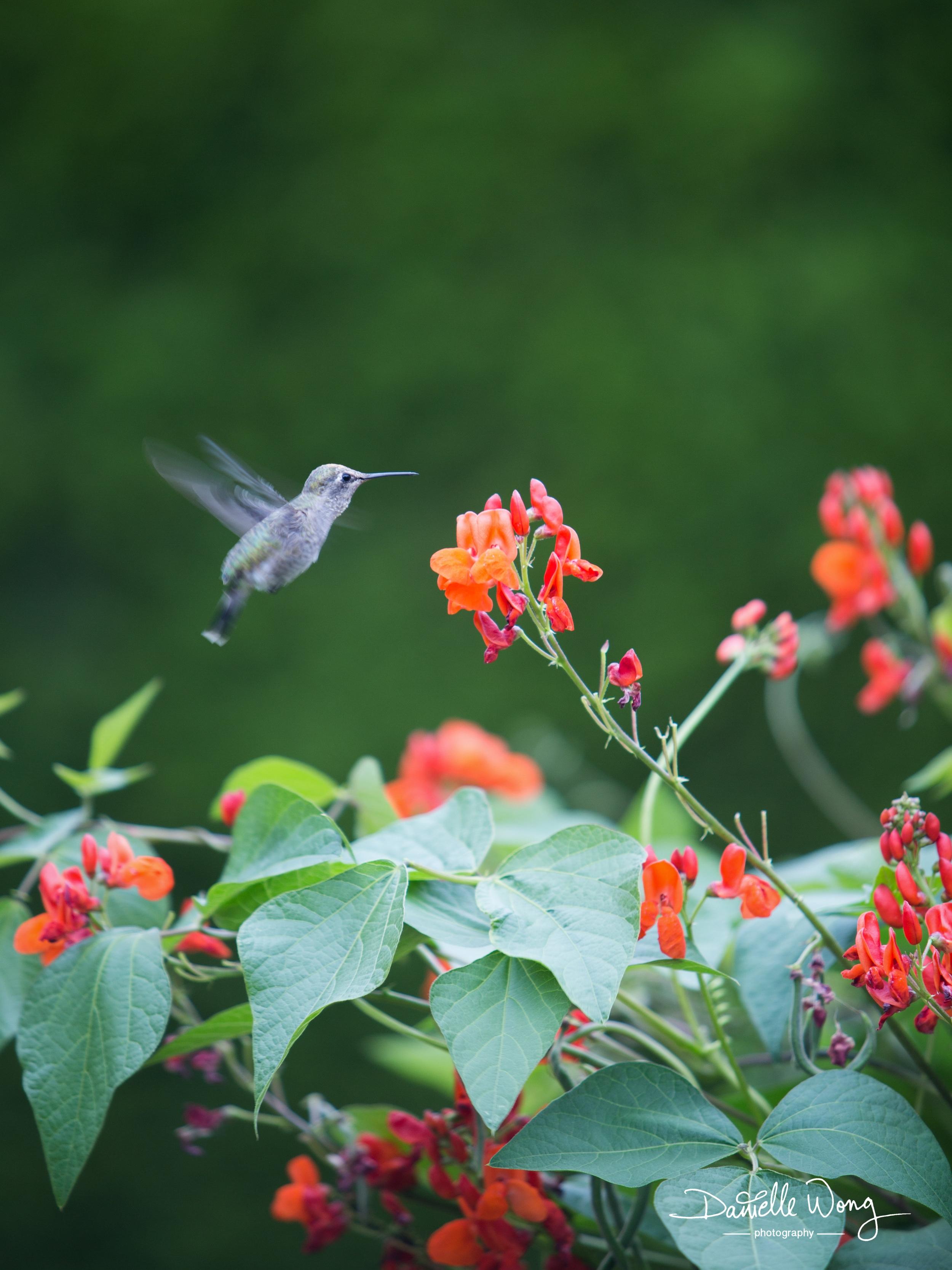 Humming Bird Series 2