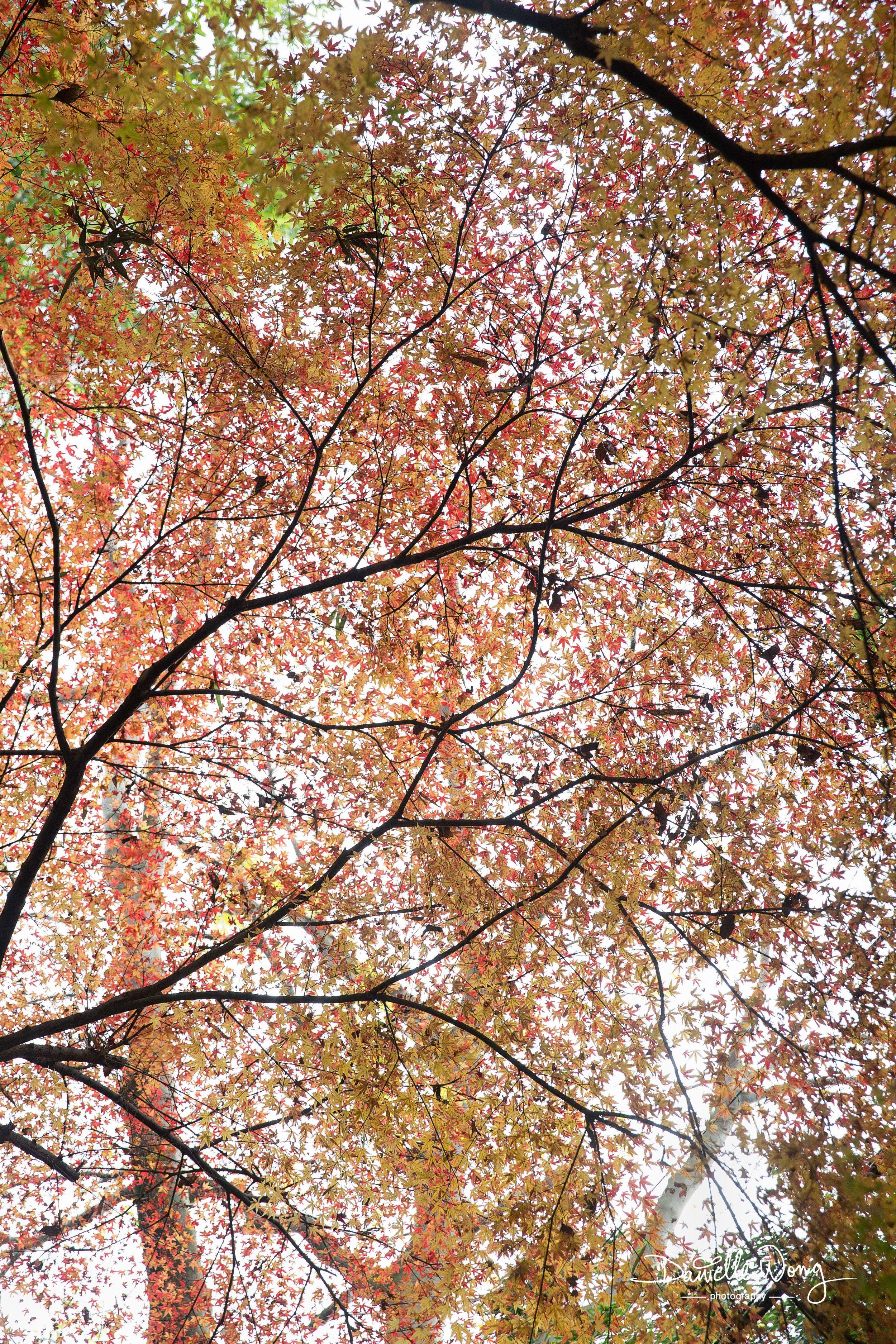 Japanes Maple Tree, Kyoto