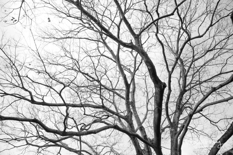 Kozaemon Heritage Tree Series 1 Printed on Glossy Silver, Metal