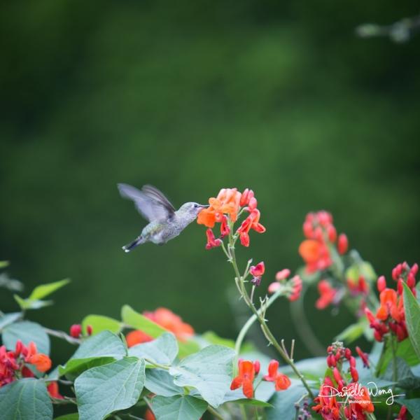 Hummingbird Series 1