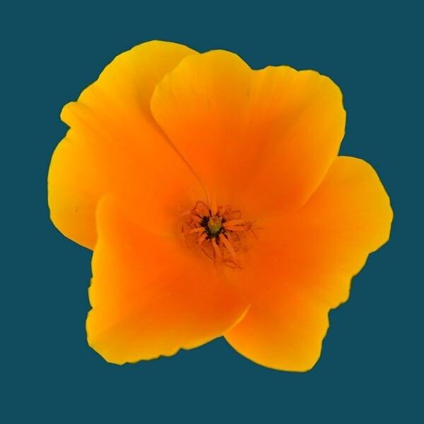 California poppies. That color!! ⠀⠀⠀⠀⠀⠀⠀⠀⠀ ⠀⠀⠀⠀⠀⠀⠀⠀⠀ ⠀⠀⠀⠀⠀⠀⠀⠀⠀ ⠀⠀⠀⠀⠀⠀⠀⠀⠀ ⠀⠀⠀⠀⠀⠀⠀⠀⠀ ⠀⠀⠀⠀⠀⠀⠀⠀⠀ ⠀⠀⠀⠀⠀⠀⠀⠀⠀ ⠀⠀⠀⠀⠀⠀⠀⠀⠀ ⠀⠀⠀⠀⠀⠀⠀⠀⠀ ⠀⠀⠀⠀⠀⠀⠀⠀⠀ ⠀⠀⠀⠀⠀⠀⠀⠀⠀ ⠀⠀⠀⠀⠀⠀⠀⠀⠀ ⠀⠀⠀⠀⠀⠀⠀⠀⠀ ⠀⠀⠀⠀⠀⠀⠀⠀⠀ ⠀⠀⠀⠀⠀⠀⠀⠀⠀ #californiapoppies #fridayflowers #orange #_flowersworld_ #_international_flowers_ #bestflowerspics #blooms #captures_flowers #fa_magical #flaming_flora #floral #flowermagic #flowers #fotofanatics_flowers_ #gr8flowers #inspiredbypetals #instabloom #instablooms #instaflower #instaflowers #mta_flowers #playingwithpetals
