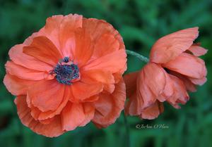 """Poppies-Papaver Orientale.""  © JoAnn O'Hare"