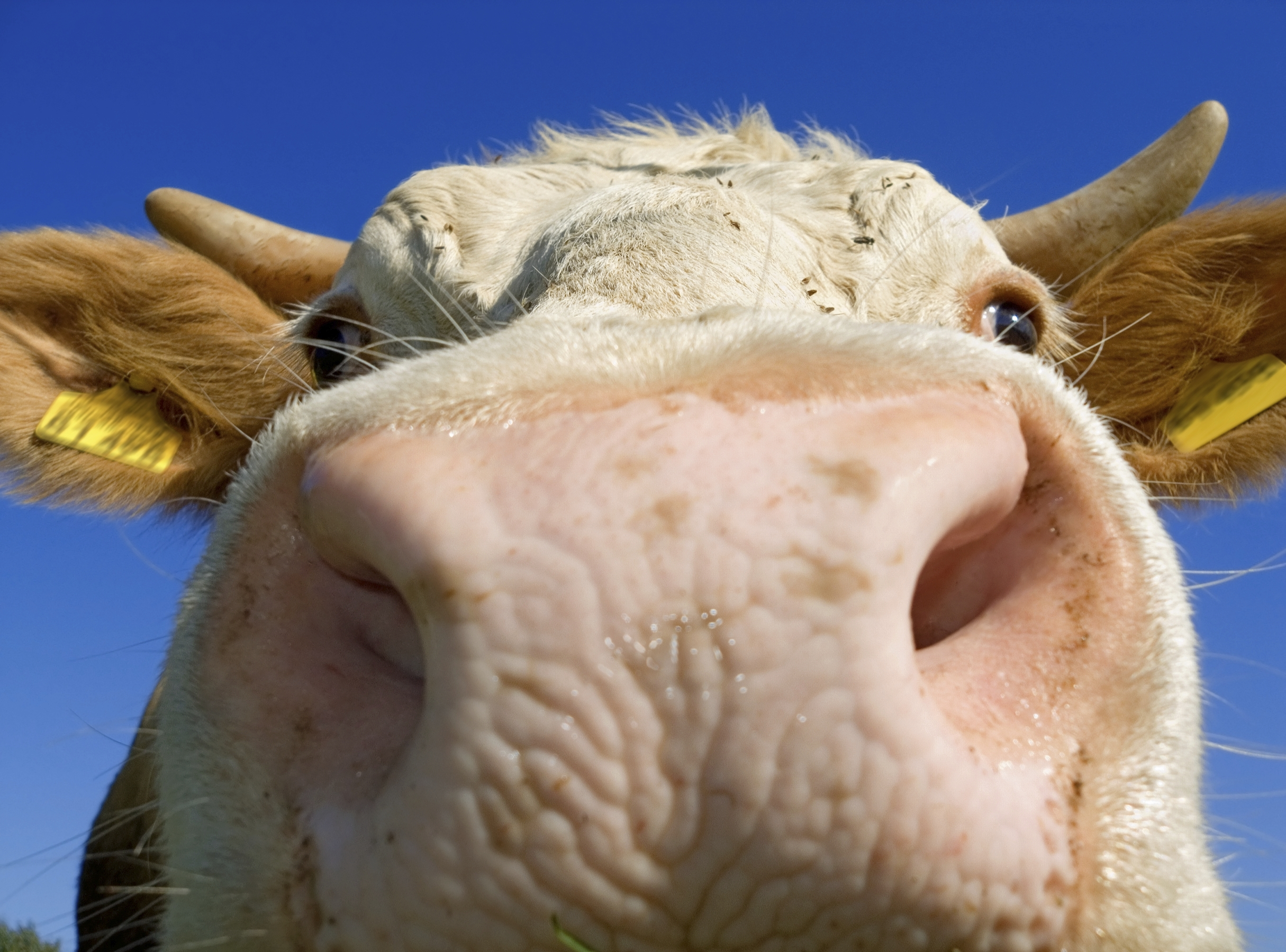 Beef Cow close up 2300932_Medium.jpg