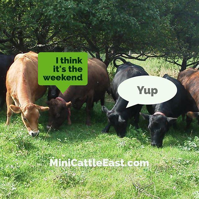 I think it's the weekend... 😊 #cows #cow #minicow #whitemountainminiatures #minijersey #cowsofinstagram #lovefarming #lovefarmlife #danburyNH #whitemountains #newhampshire #newhampshirelife