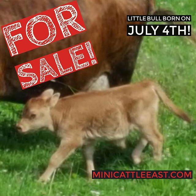 For sale!  Little mini bull DOB 7/4/16 MiniCattleEast.com