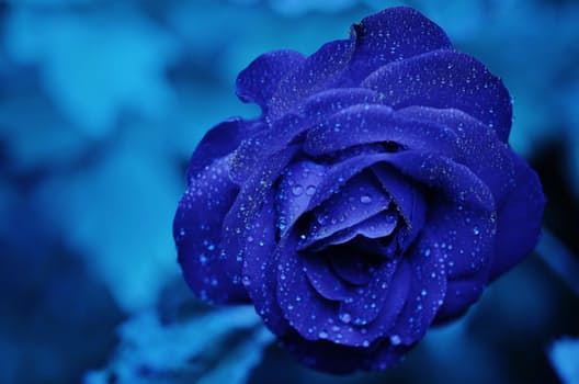 rose-blue-flower-rose-blooms-67636.jpeg