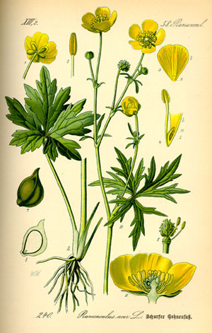 """Buttercups are miniature flowers with shiny petals in the floral family ranunculaceae which in latin translates to """"little frog""""."""