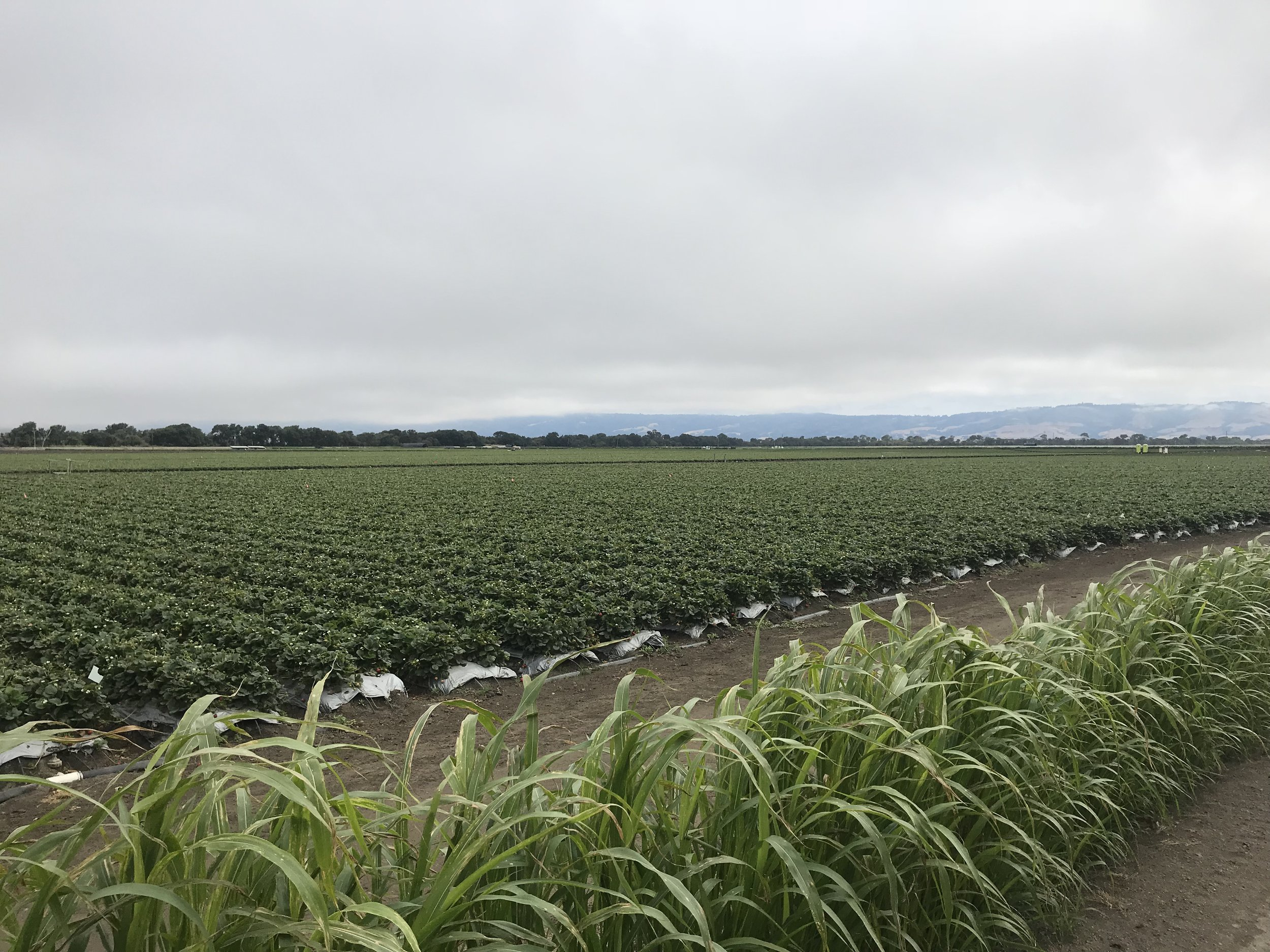 This morning, south of Santa Cruz, we biked through miles and miles of strawberry fields. It smelled like we were biking next to a lake of strawberry jam.