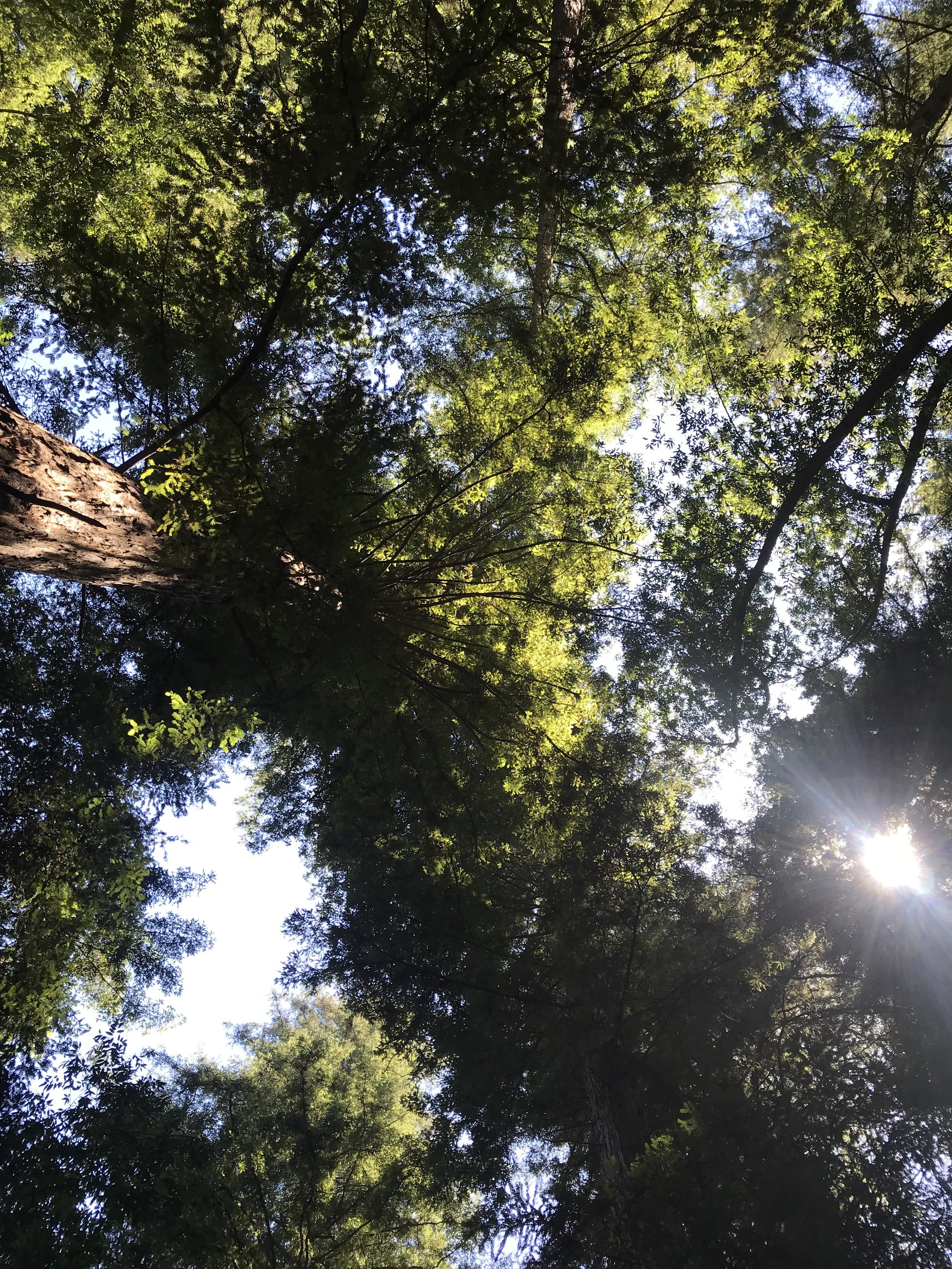 Redwoods above our campsite.