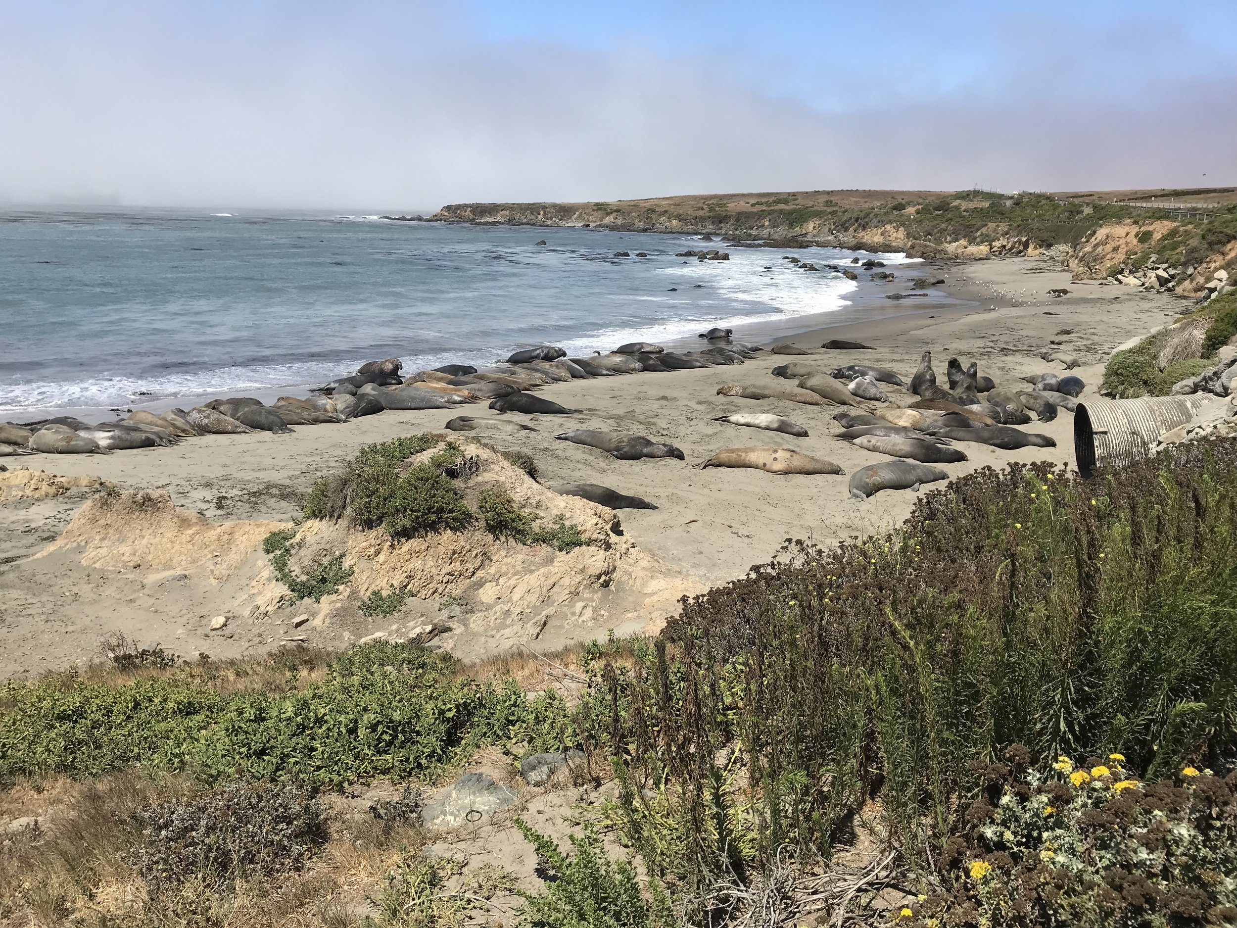 We stopped at San Simeon to see elephant seals! This colony only formed in the 1990's and now has over 15,000 seals in it. For an animal almost hunted to extinction, pretty amazing to see.