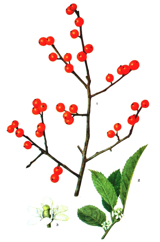 Botanical-Holly-berries-1.jpg