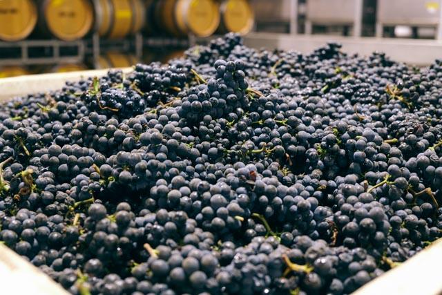 First harvest of 2014, Kessler-Hawk Pinot noir.