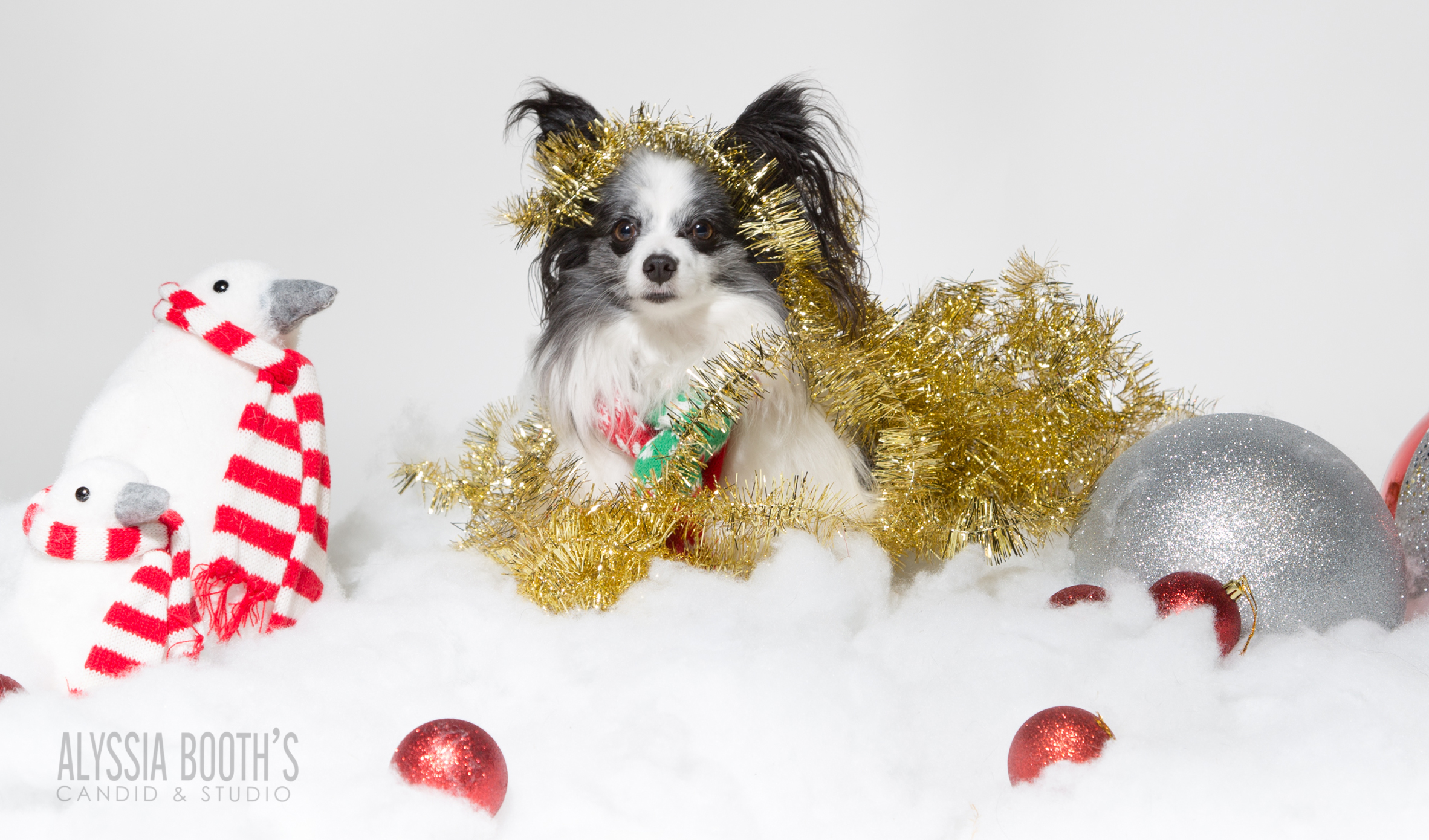 Davy  | Alyssia Booth's Candid & Studio | Pet Photos | Papillon | PetX | Howell Michigan