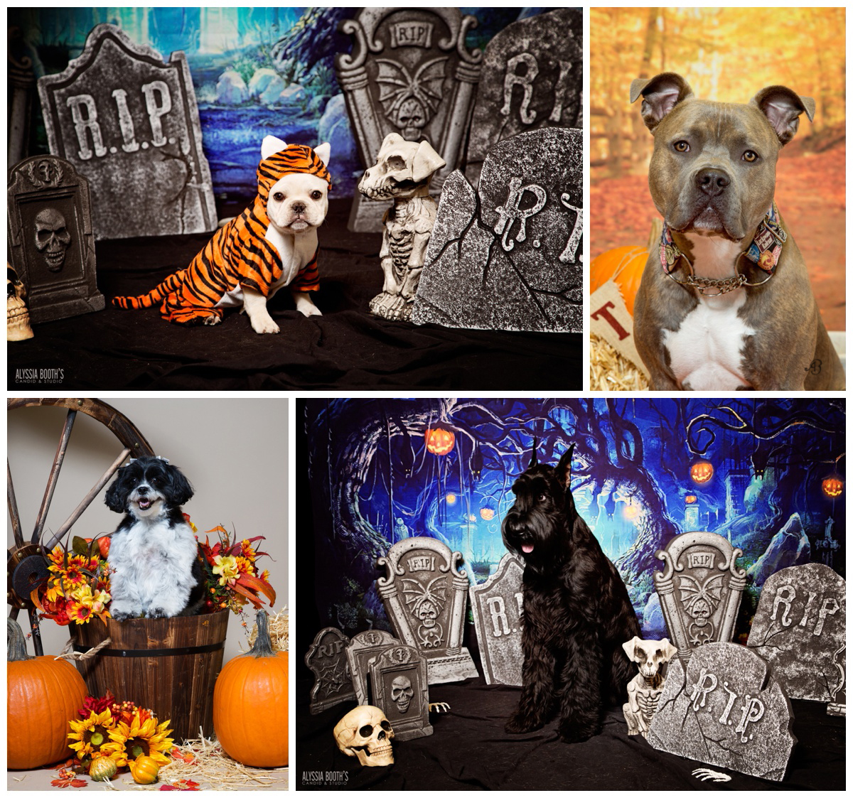 Pet Portraits | Halloween | Happy Holidays! Alyssia Booth's Candid & Studio
