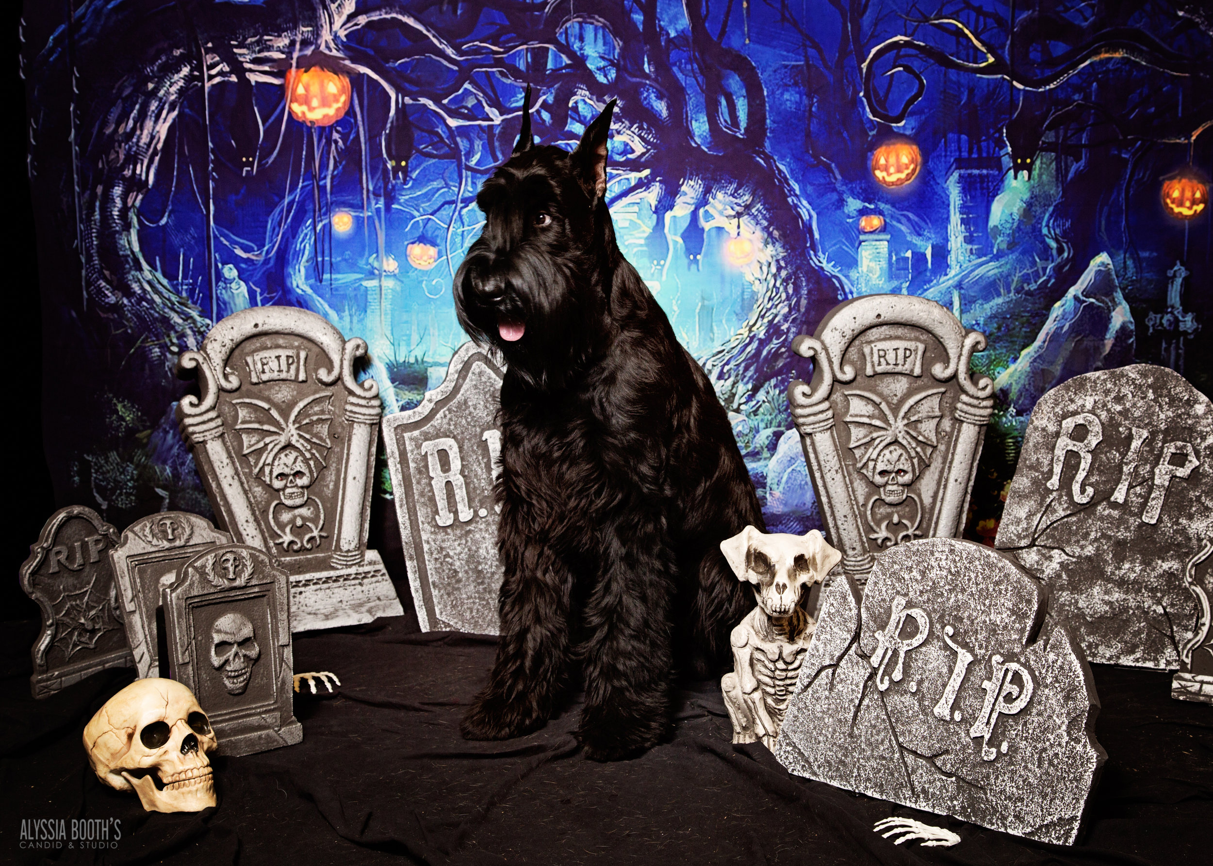 Giant Schnauzer | Big Black Dog | Halloween Pets |  www.abcandidstudio.com | Alyssia Booth's Candid & Studio | Michigan Pet Photographer