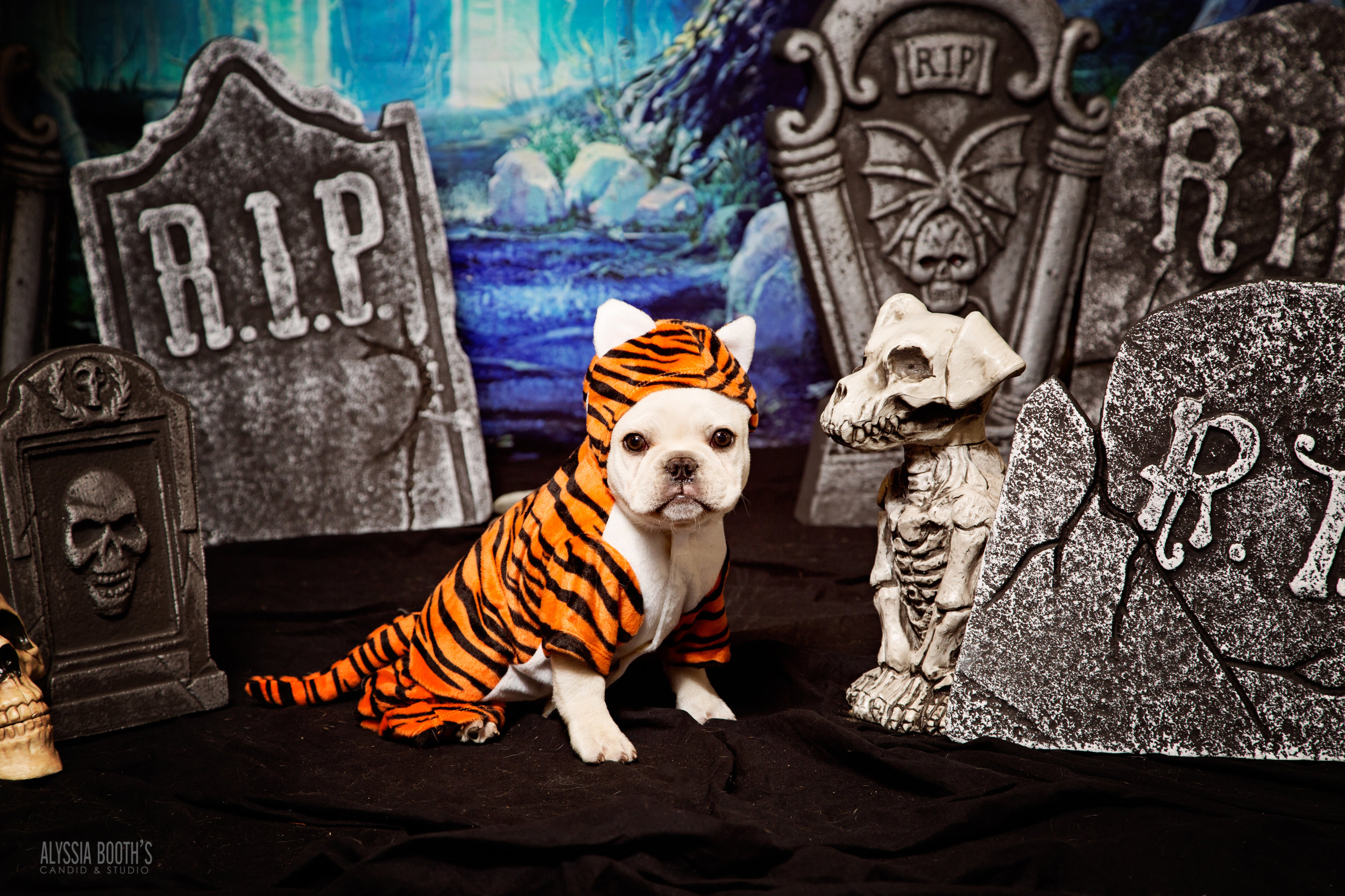 Frenchie Puppy | Tiger Puppy Costume | Halloween Pets |  www.abcandidstudio.com | Alyssia Booth's Candid & Studio | Michigan Pet Photographer