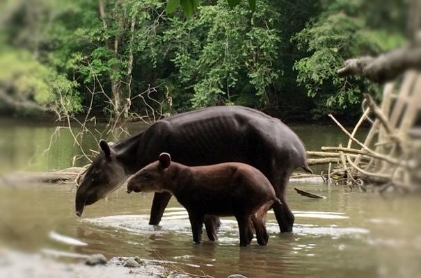 tapir-at-corcovado-national-park-tour-by-drakeBay-getaway-resort-osa-peninsula-bahia-drake-costarica.jpg