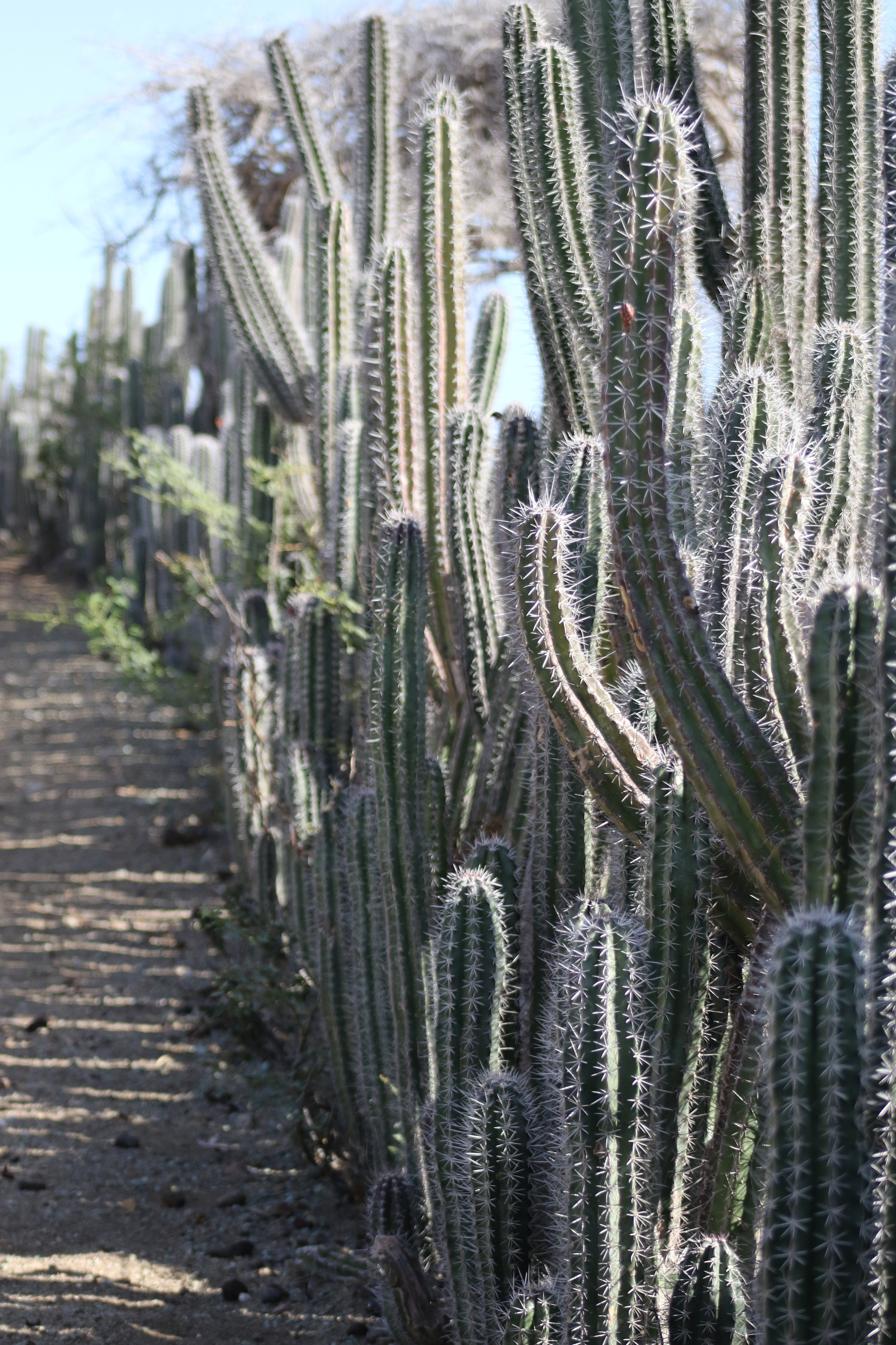 A Fence Made Out Of Cactus!  Photo Credit: Liz Summit, 2016