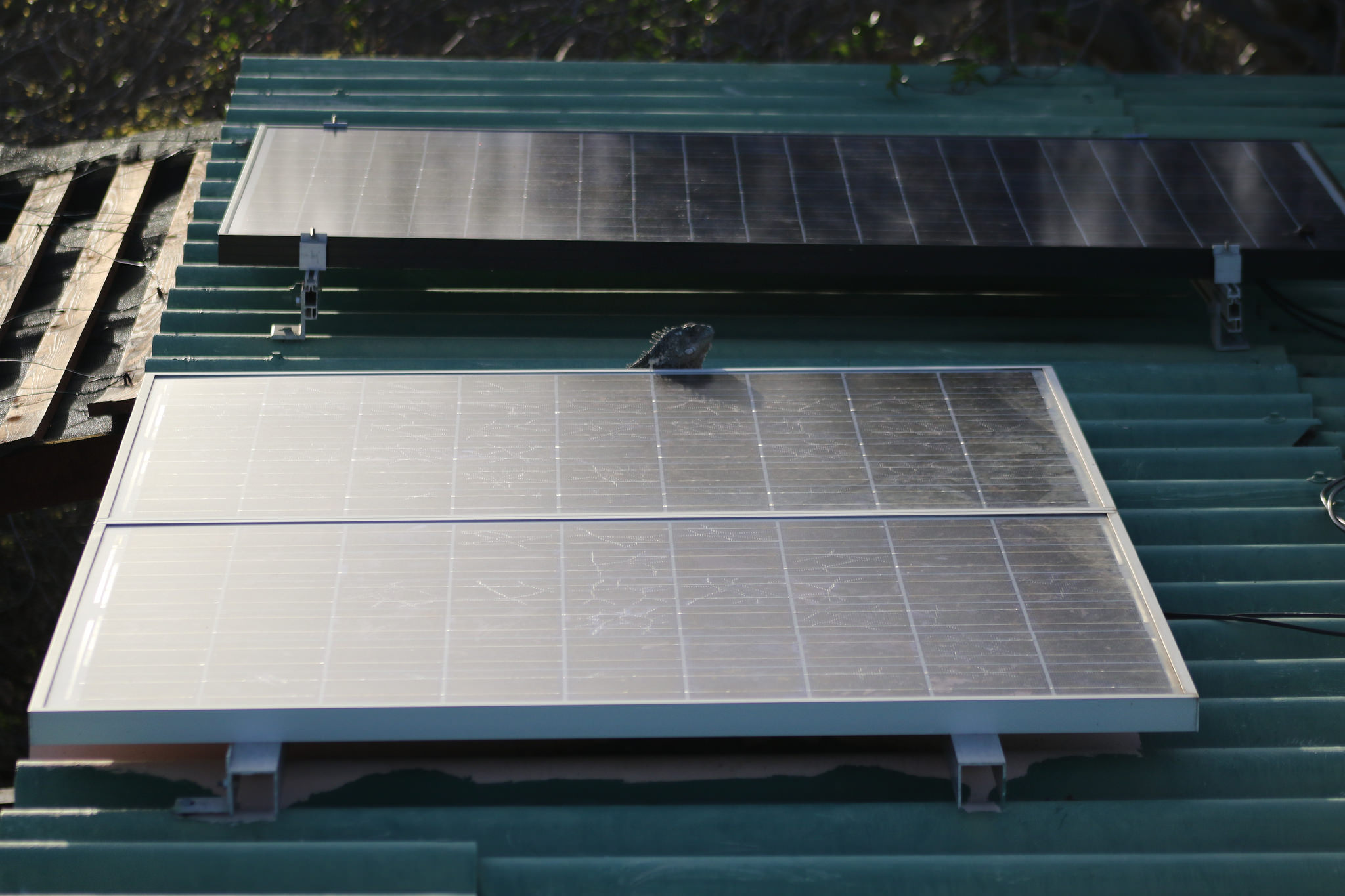 Solar Panels, With an Iguana Visitor