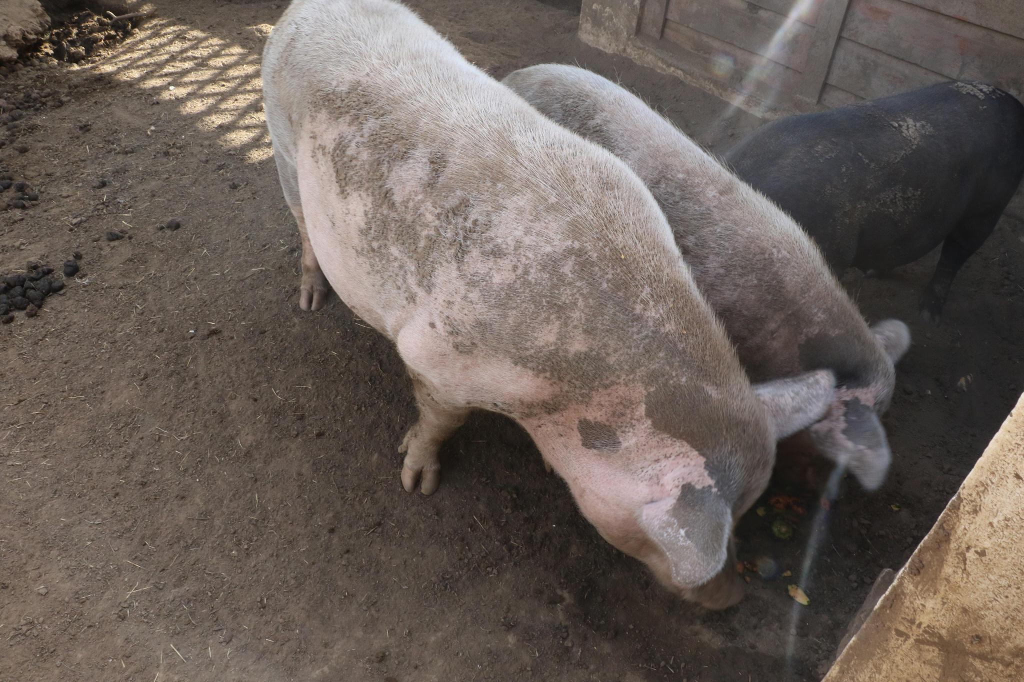 Good Morning Pigs!