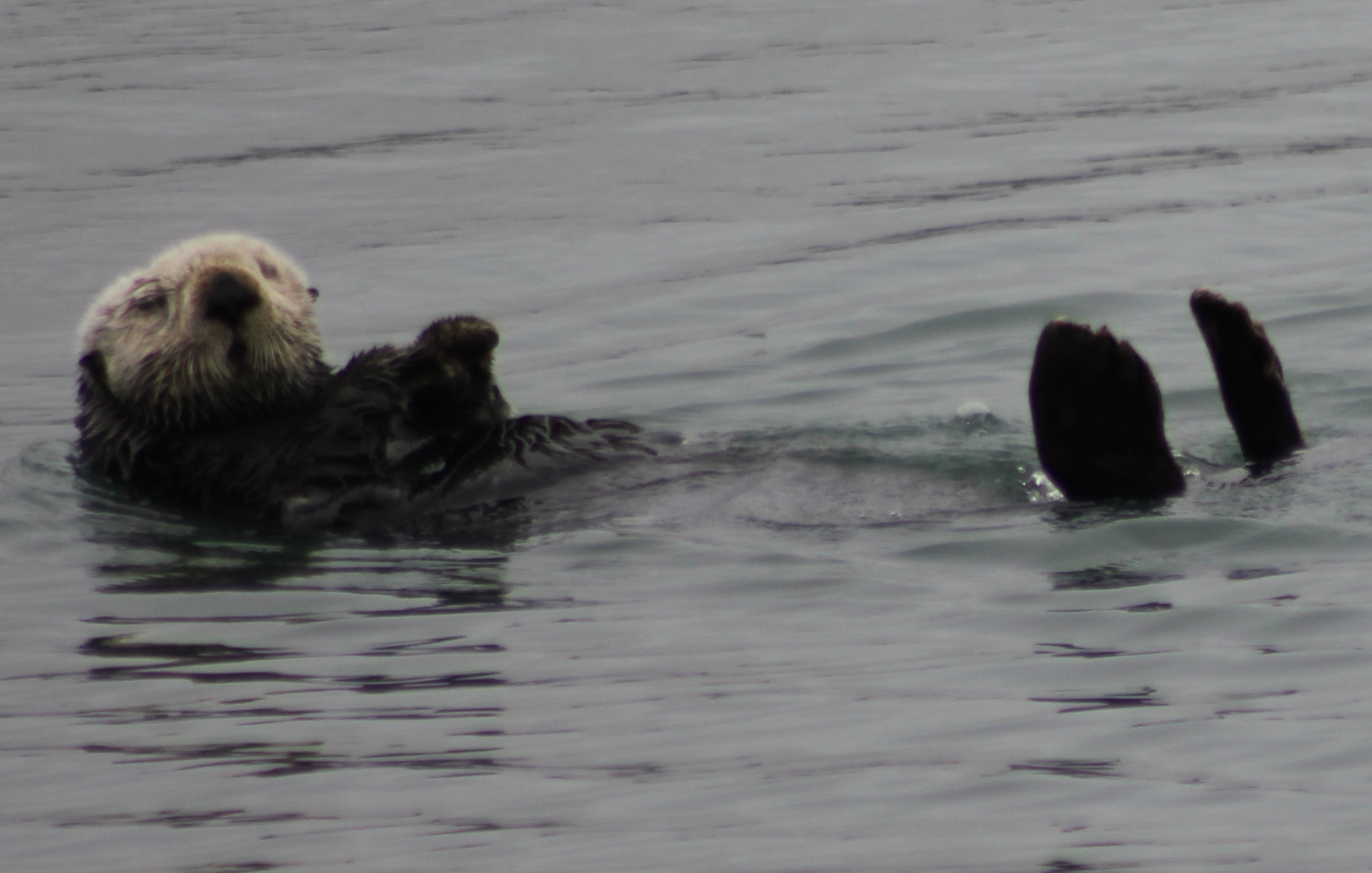 One of my favorite otter photos from a trip to Monterey Bay. Photo credit: Liz Summit, 2014.