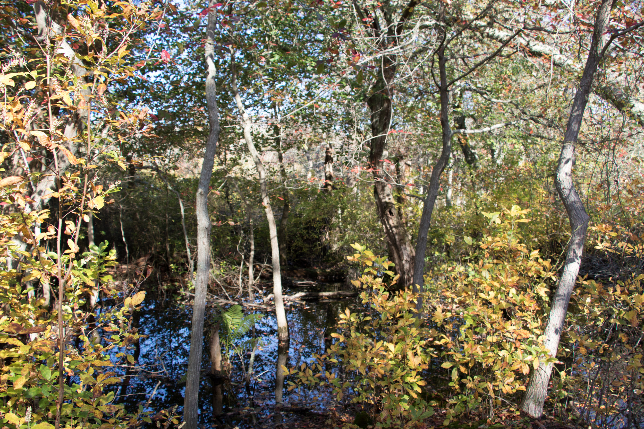 Red Maple Swamp, Cape Cod. Photo Credit: Liz Summit, 2017
