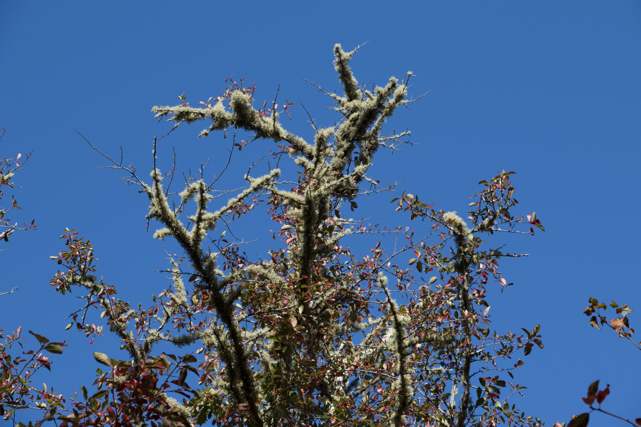 Lichen (like moss)