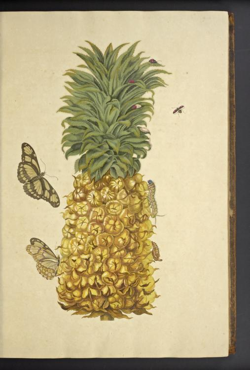 Pineapple and Scarce Bamboo Page Butterfly