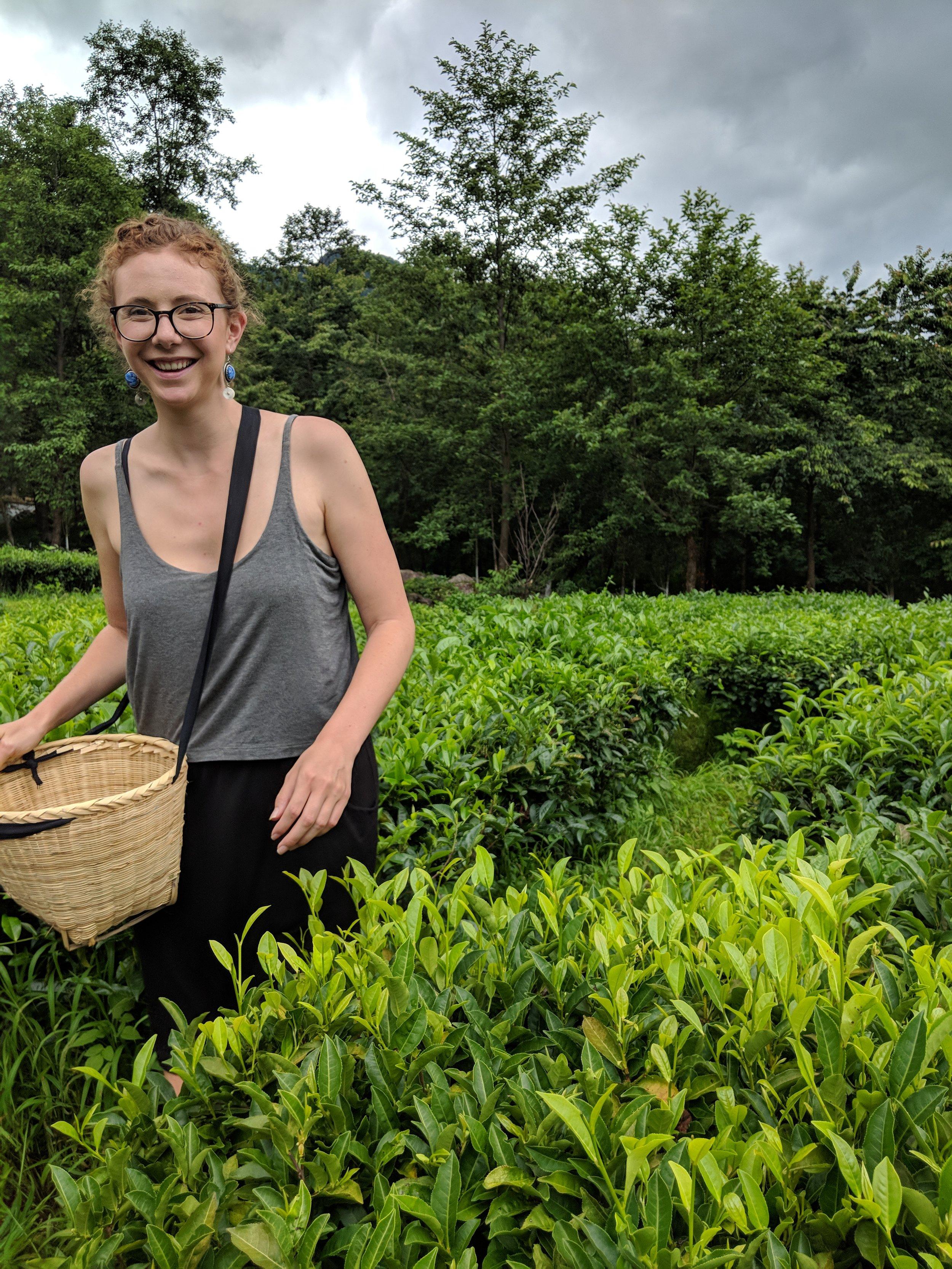 Picking tea at the Dali University Tea Plantation