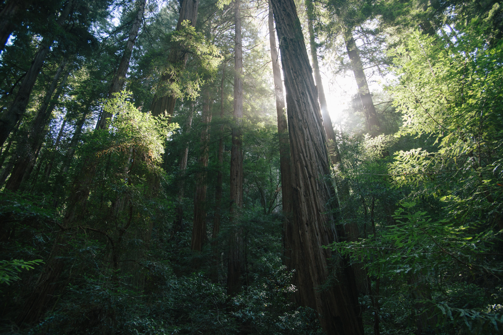 Sunlight in the redwood trees of Muir Woods