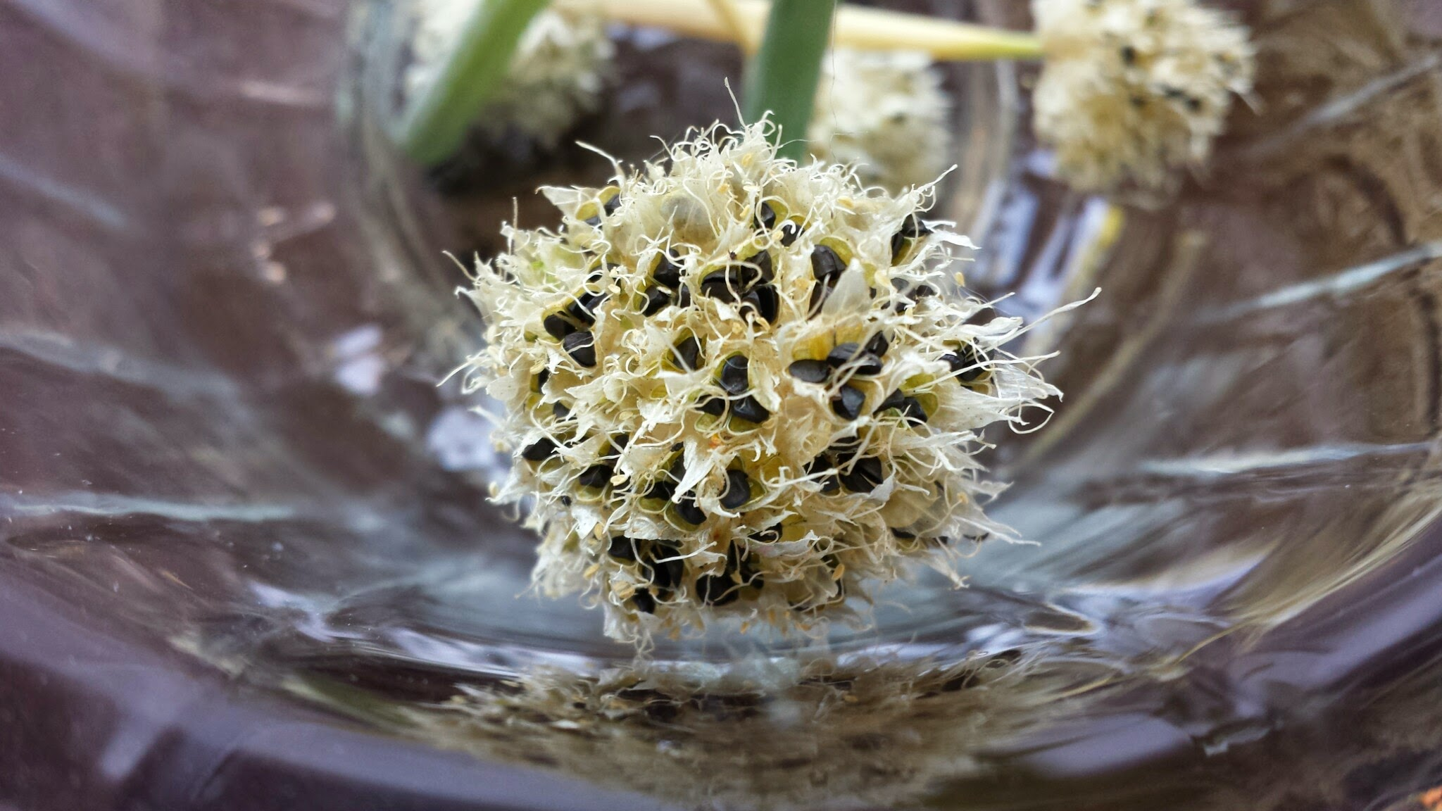 and here is a photo of the dried flower so the seeds are really obvious.