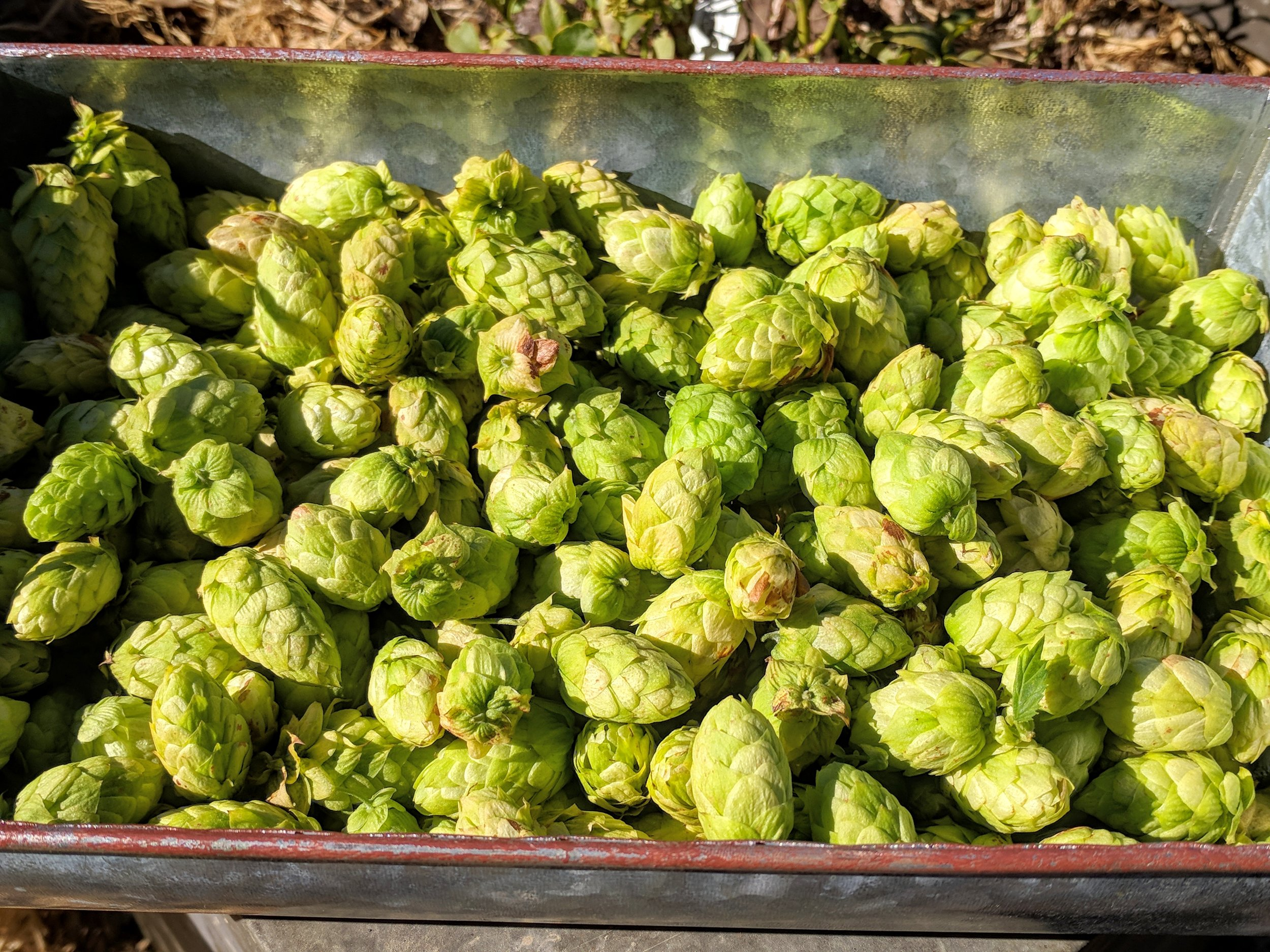 Cascade Hops: Harvested early October 2018