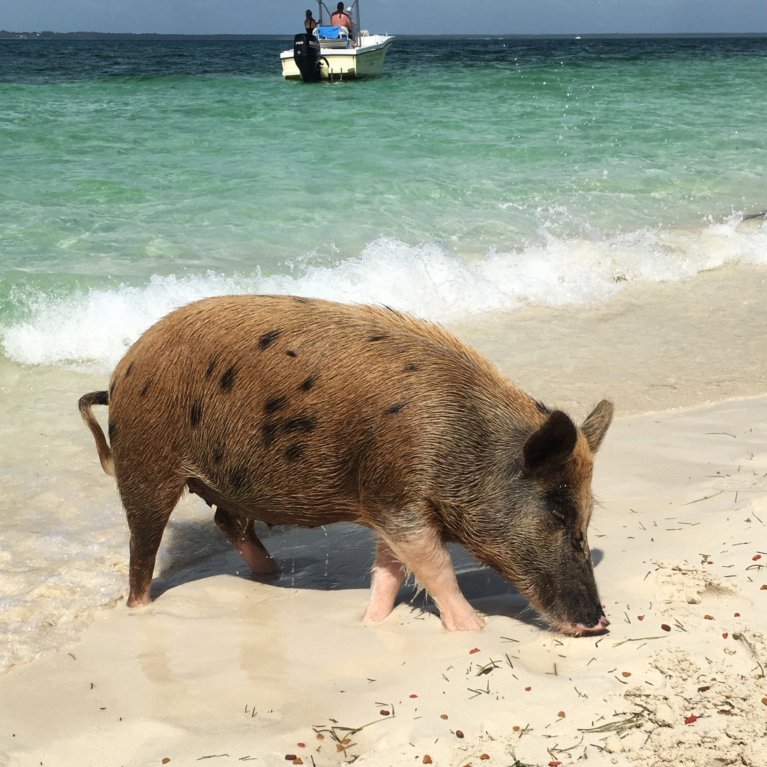 swimming pigs bahamas abaco piggyville