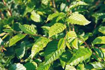 Carpinus betulus  Heckenpflanze mit Ballen Höhe: 160/180/200cm, Breite: 50cm Länge nach Wahl