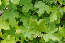 Acer campestre  Heckenpflanze mit Ballen Höhe: 150/180cm, Breite: 50cm Länge nach Wahl
