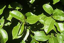 Prunus lusitanica Angustifolia  Heckenpflanze mit Ballen Höhe: 150/180cm, Breite: 50cm Länge nach Wahl