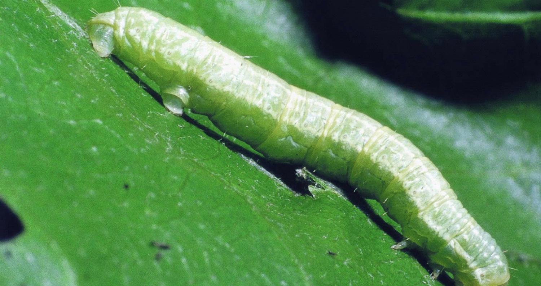 Operophtera_brumata_larva.jpg