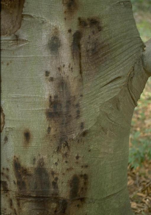 Bleeding Canker on an Infected Beech