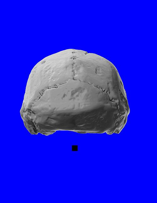 erectus_posterior_cranium_adjusted_sm.jpg