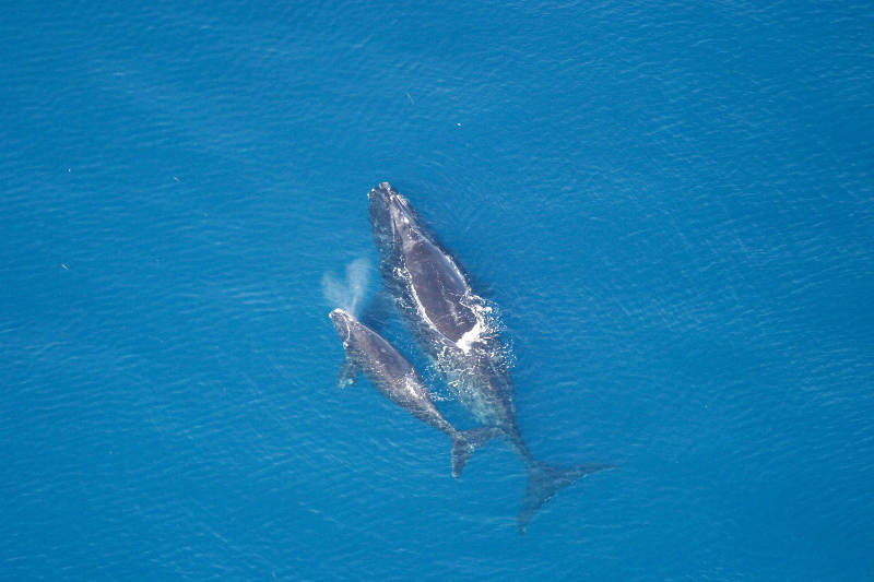 The endangered North Atlantic Right Whale is among a number of marine species  potentially impacted seismic airgun testing.Photo: Florida Fish and Wildlife Conservation Commission/NOAA