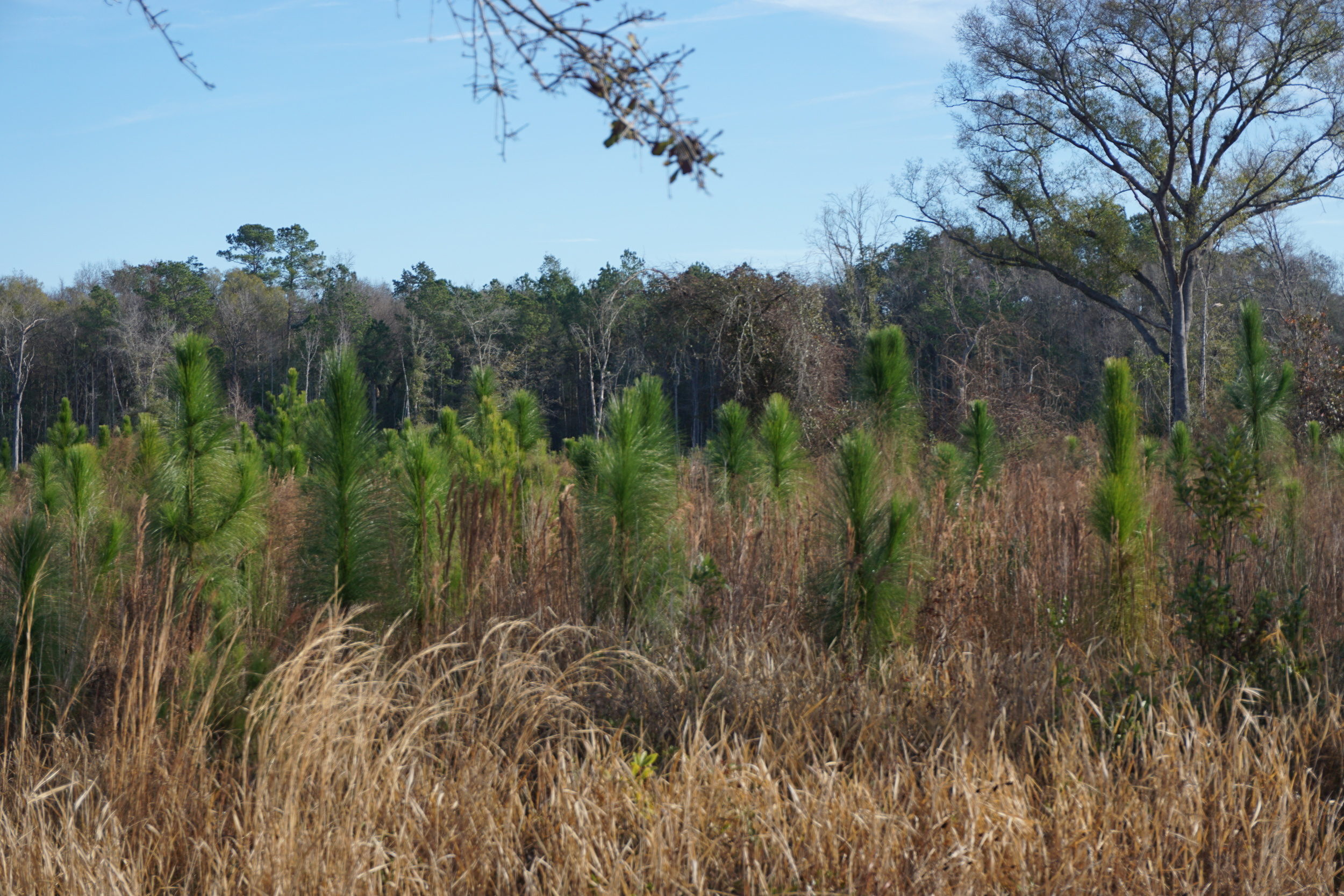 Adolescent longleaf pines on the Williams property. Photo by DCW.