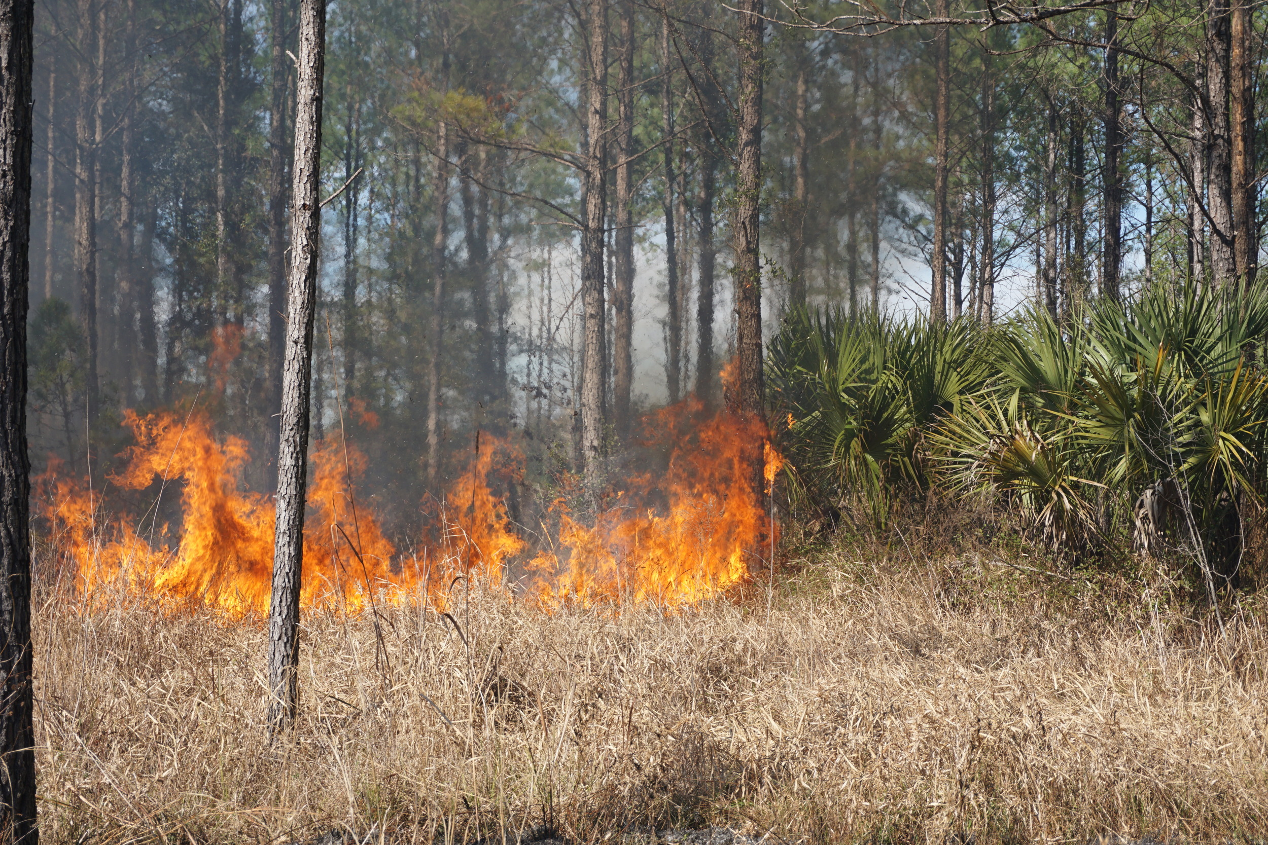 Fire takes hold during prescribed burn at the Williams'. Photo by DCW.
