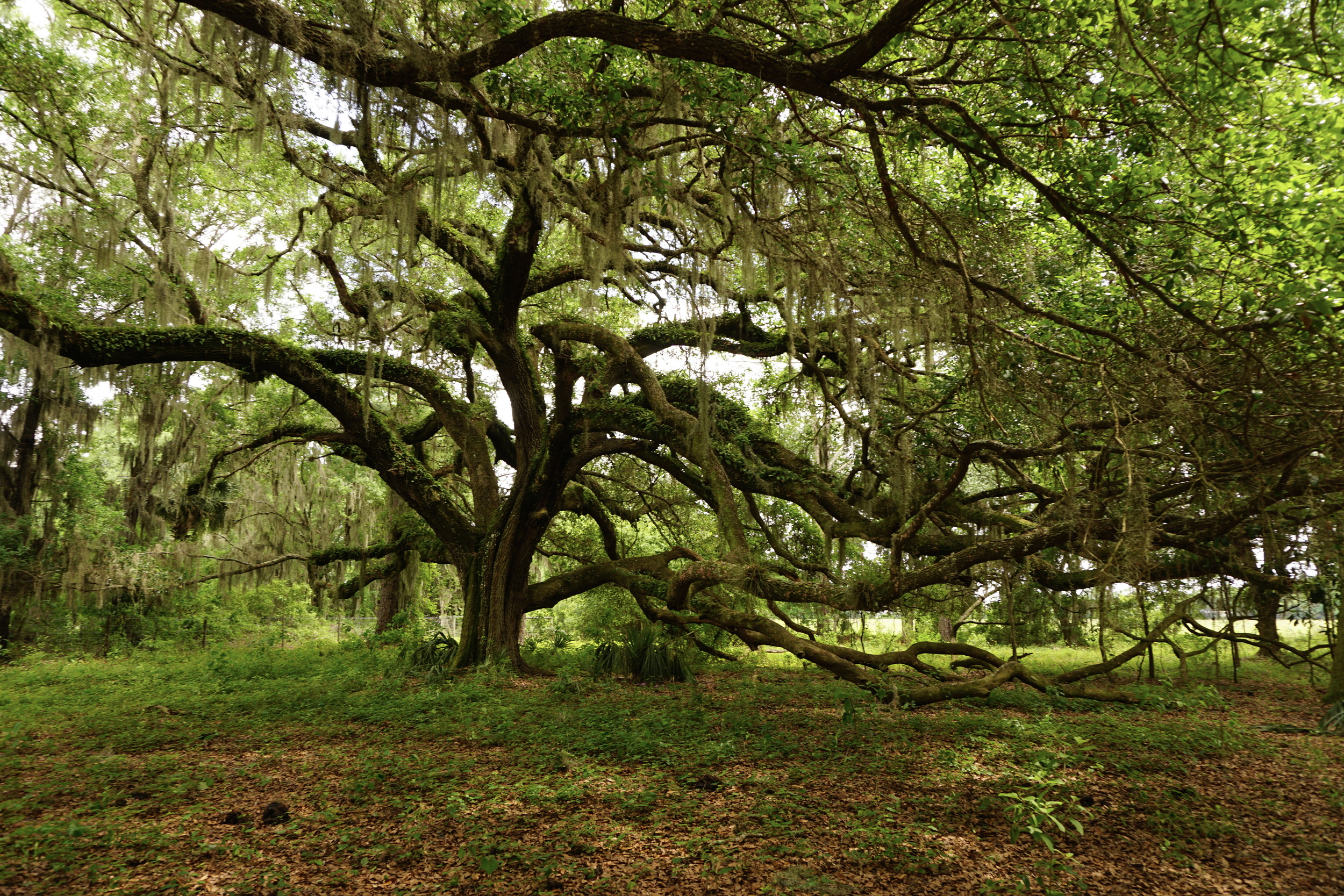 "The ""Monkey Tree,"" alive oak in the Smith woods. Photo by Daniel Ward."