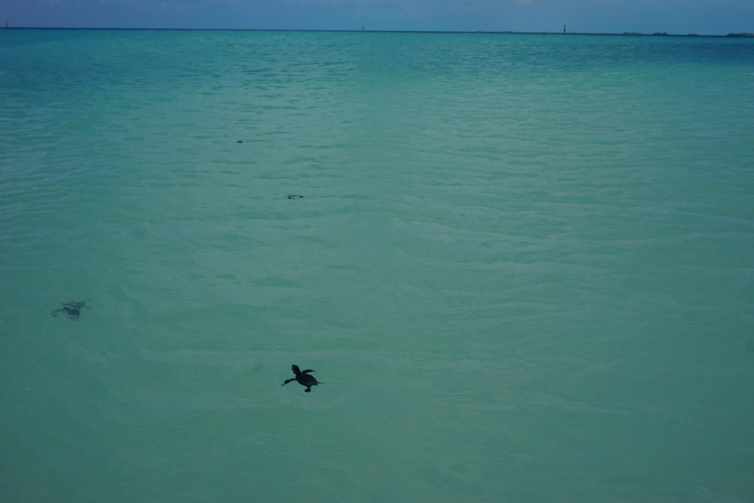 Baby sea turtles head for the open ocean. Photo by Daniel Ward.