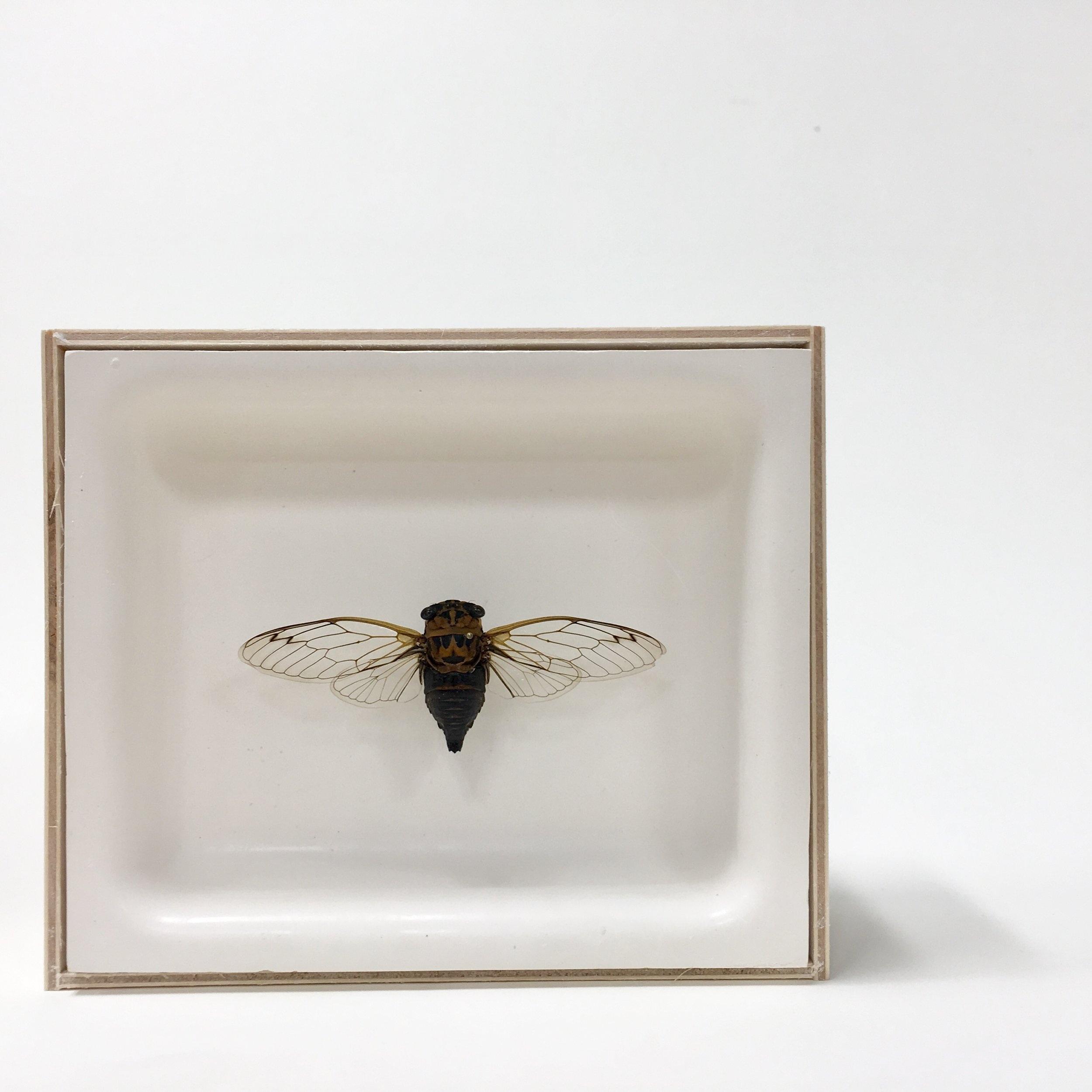 Cicadas (shot academically)