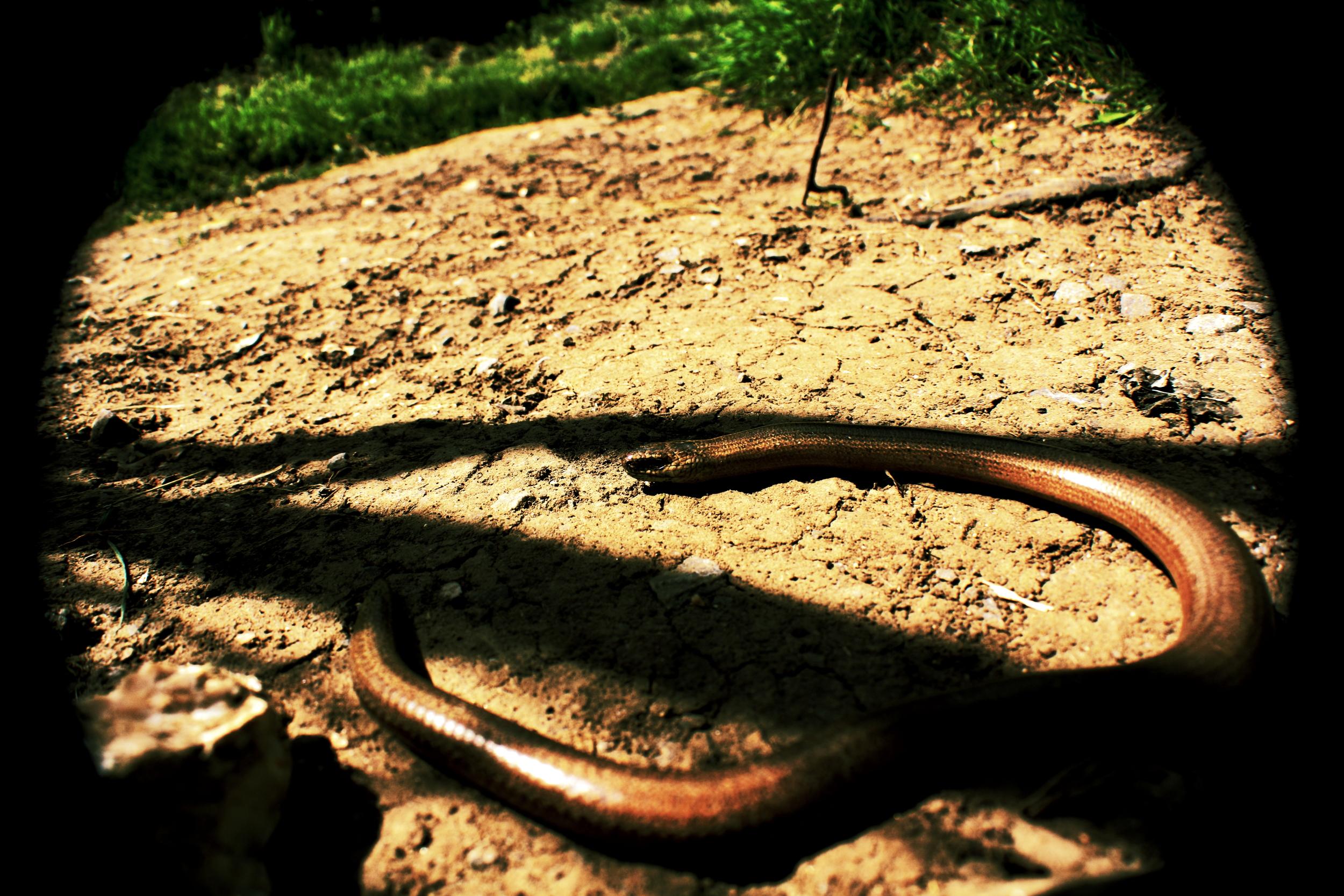 Wide Slowworm
