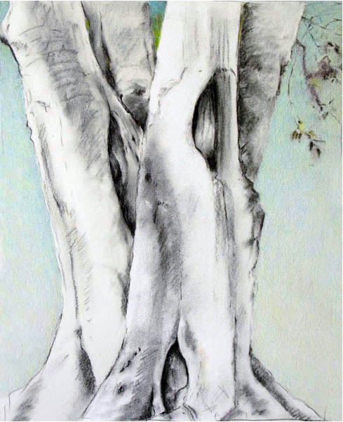 """BEECH TREE     (SOLD)    18"""" x 24"""" — Charcoal and color pencil on drawing paper    $800.00"""