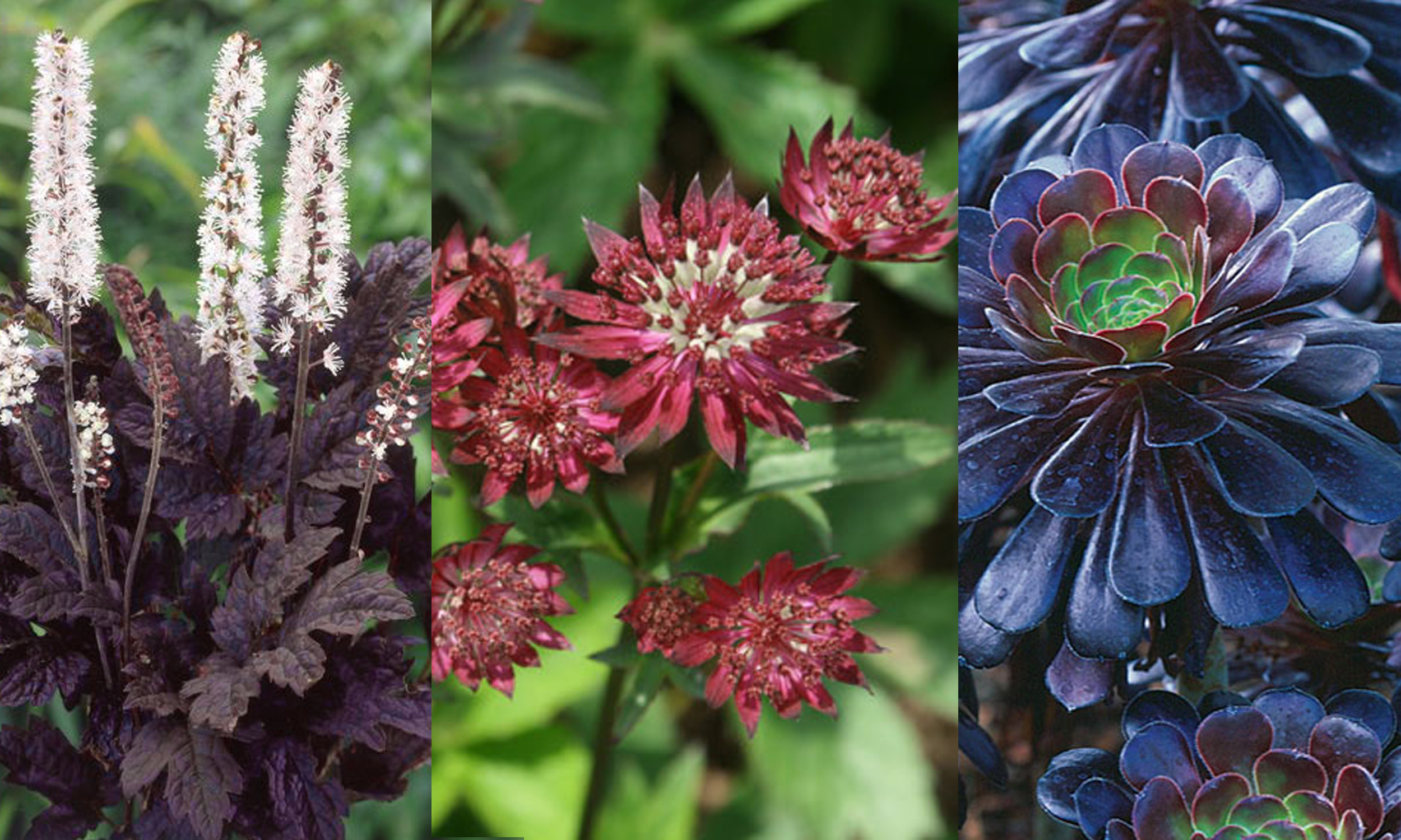 Cimicifuga racemosa  'Brunette',  Astrantia major  'Ruby Wedding',  Aeonium arboreum  'Atropurpureum'