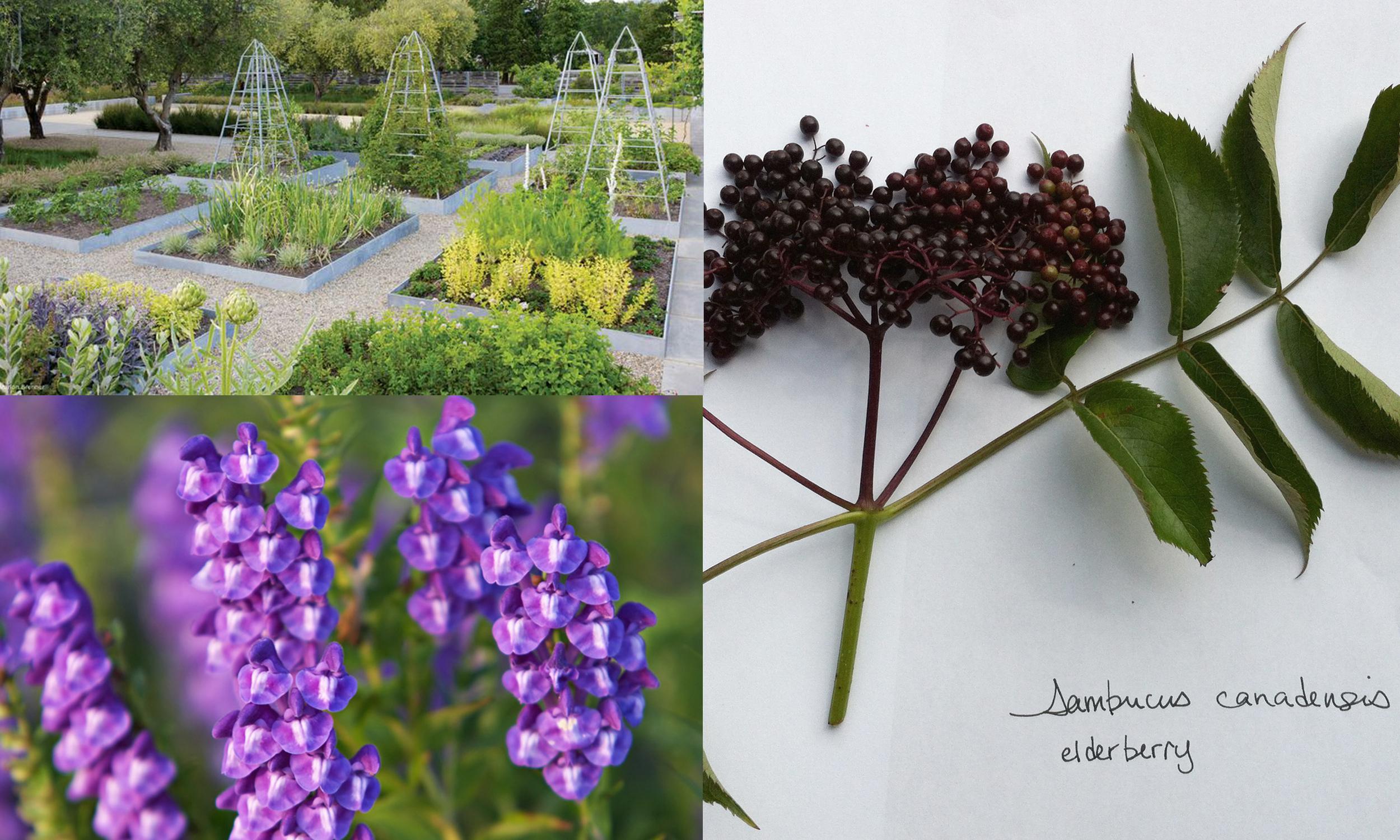 Medlock Ames Winery herb gardenby  NBWLA ,  Sambucus canadensis,   Scutellaria baicalensis